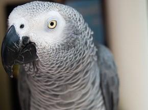 african grey parrot by Badr Naseem