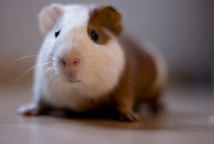 Guinea Pig by Katherine-McAdoo
