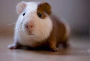 Guinea Pig by Katherine-McAdoo