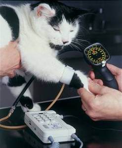 We can measure blood pressure in cats using either a limb or the tail!